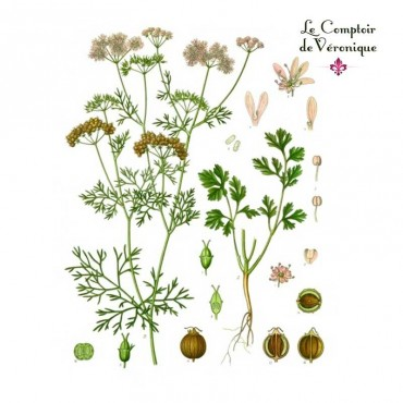 Coriandre graines Bio