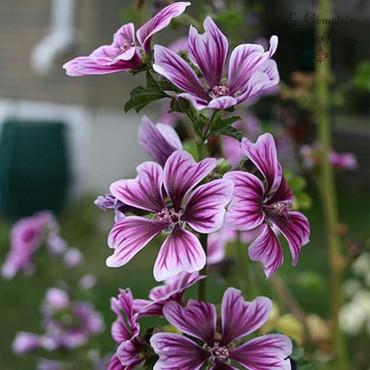 Mauve fleurs Bio