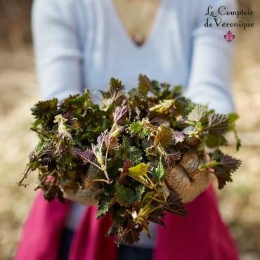 Ortie piquante feuilles coupées Bio