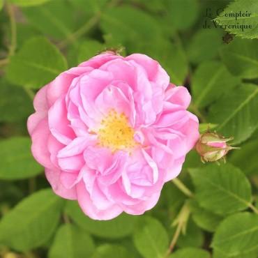 Rose de Damas bio
