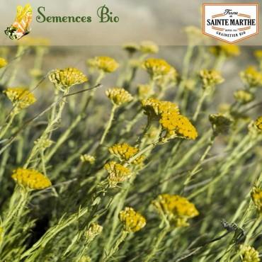 Helichryse - semences bio